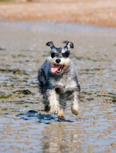 Schnauzer running on the beach in wet Sand