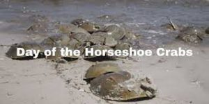 Horse shoe crabs piled on the beach