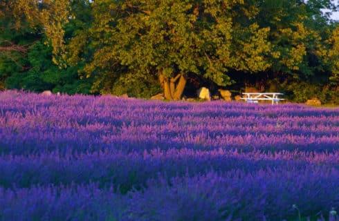 Lavender field all in purple
