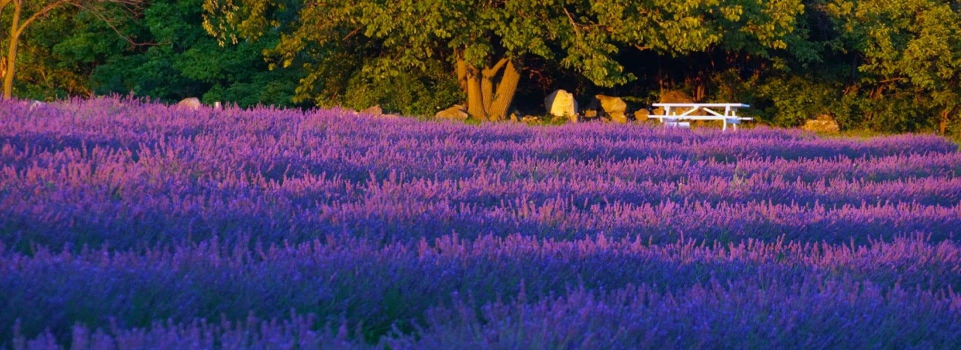 lavendar field with white table