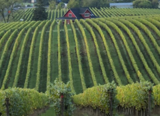 Large field of Grapes winery